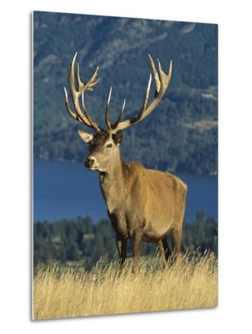 Red Deer (Cervus Elaphus) Stag on Hillside, South Island, New Zealand-Colin Monteath/Minden Pictures-Metal Print