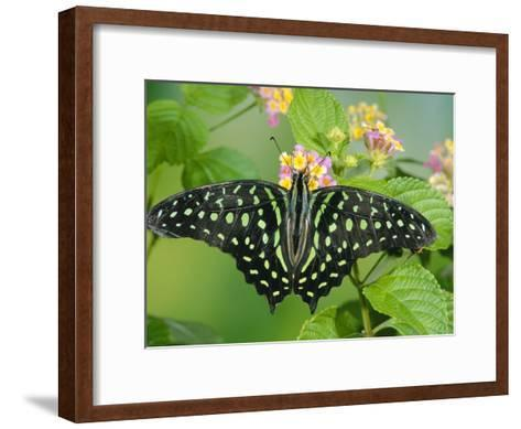 Green-Spotted Swallowtail (Graphium Tynderaeus) Butterfly, Tangkoko Batuangus Reserve, Indonesia-Michael and Patricia Fogden/Minden Pictures-Framed Art Print