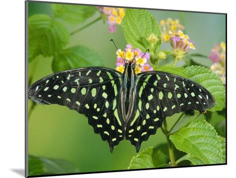 Green-Spotted Swallowtail (Graphium Tynderaeus) Butterfly, Tangkoko Batuangus Reserve, Indonesia-Michael and Patricia Fogden/Minden Pictures-Mounted Photographic Print