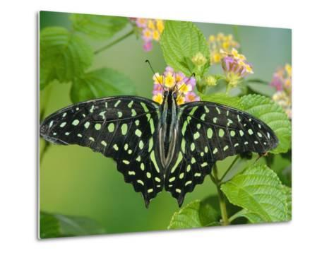Green-Spotted Swallowtail (Graphium Tynderaeus) Butterfly, Tangkoko Batuangus Reserve, Indonesia-Michael and Patricia Fogden/Minden Pictures-Metal Print