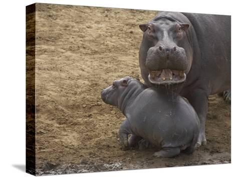 Hippopotamus (Hippopotamus Amphibius) Mother with Young Calf, Masai Mara Nat'l Reserve, Kenya-Suzi Eszterhas/Minden Pictures-Stretched Canvas Print