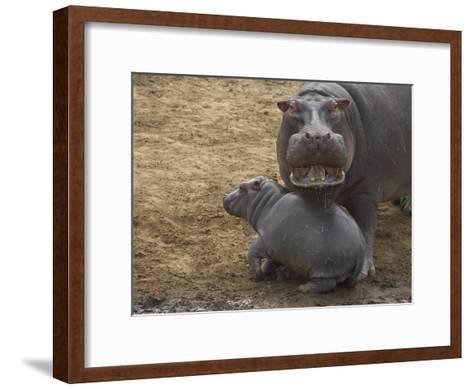 Hippopotamus (Hippopotamus Amphibius) Mother with Young Calf, Masai Mara Nat'l Reserve, Kenya-Suzi Eszterhas/Minden Pictures-Framed Art Print