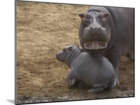 Hippopotamus (Hippopotamus Amphibius) Mother with Young Calf, Masai Mara Nat'l Reserve, Kenya-Suzi Eszterhas/Minden Pictures-Mounted Photographic Print