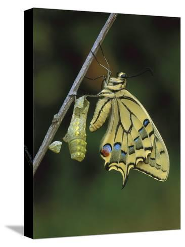 Swallowtail (Papilio Machaon) Emerged from Chrysalis, Switzerland-Thomas Marent/Minden Pictures-Stretched Canvas Print