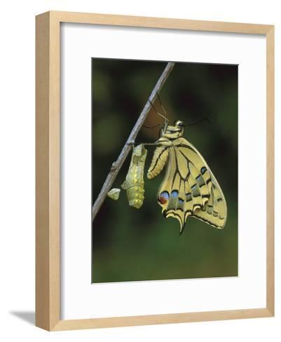Swallowtail (Papilio Machaon) Emerged from Chrysalis, Switzerland-Thomas Marent/Minden Pictures-Framed Art Print