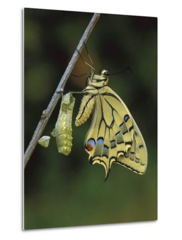 Swallowtail (Papilio Machaon) Emerged from Chrysalis, Switzerland-Thomas Marent/Minden Pictures-Metal Print