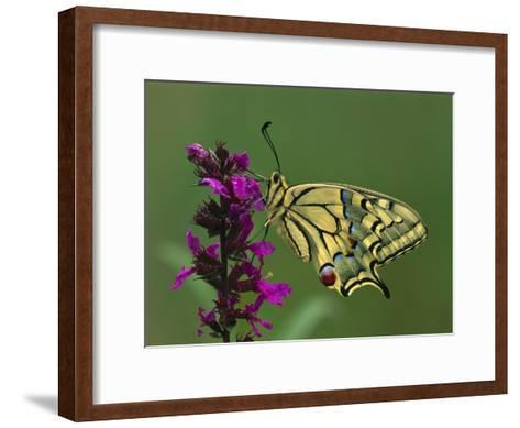 Swallowtail (Papilio Machaon) Butterfly, Switzerland-Thomas Marent/Minden Pictures-Framed Art Print
