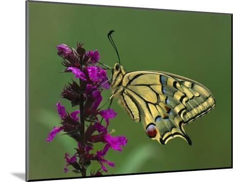 Swallowtail (Papilio Machaon) Butterfly, Switzerland-Thomas Marent/Minden Pictures-Mounted Photographic Print