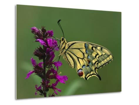 Swallowtail (Papilio Machaon) Butterfly, Switzerland-Thomas Marent/Minden Pictures-Metal Print