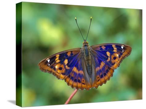 Lesser Purple Emperor (Apatura Ilia) Butterfly, Switzerland-Thomas Marent/Minden Pictures-Stretched Canvas Print