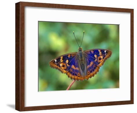 Lesser Purple Emperor (Apatura Ilia) Butterfly, Switzerland-Thomas Marent/Minden Pictures-Framed Art Print