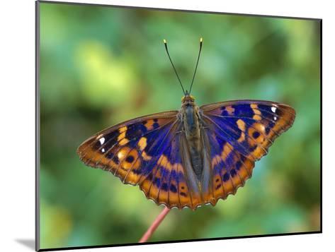 Lesser Purple Emperor (Apatura Ilia) Butterfly, Switzerland-Thomas Marent/Minden Pictures-Mounted Photographic Print