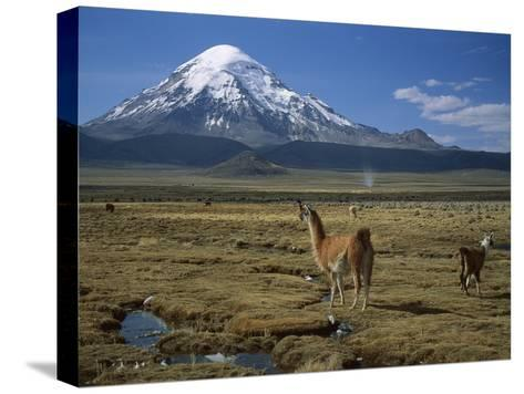 Alpaca (Lama Pacos) Mother and Young in Grassland Near Volcano, Lauca Nat'l Park, Chile-Thomas Marent/Minden Pictures-Stretched Canvas Print
