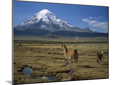Alpaca (Lama Pacos) Mother and Young in Grassland Near Volcano, Lauca Nat'l Park, Chile-Thomas Marent/Minden Pictures-Mounted Photographic Print