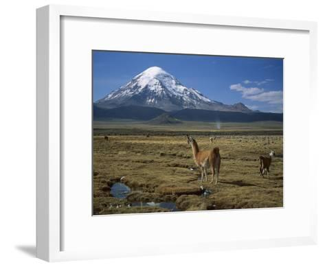 Alpaca (Lama Pacos) Mother and Young in Grassland Near Volcano, Lauca Nat'l Park, Chile-Thomas Marent/Minden Pictures-Framed Art Print