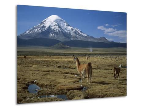 Alpaca (Lama Pacos) Mother and Young in Grassland Near Volcano, Lauca Nat'l Park, Chile-Thomas Marent/Minden Pictures-Metal Print