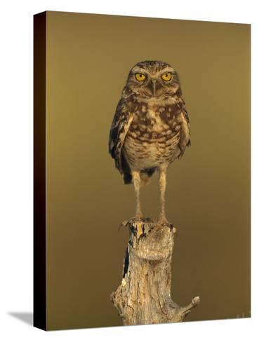 Burrowing Owl (Athene Cunicularia) Perched on Stump, Los Llanos, Venezuela-Thomas Marent/Minden Pictures-Stretched Canvas Print