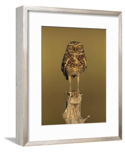 Burrowing Owl (Athene Cunicularia) Perched on Stump, Los Llanos, Venezuela-Thomas Marent/Minden Pictures-Framed Art Print