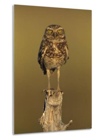 Burrowing Owl (Athene Cunicularia) Perched on Stump, Los Llanos, Venezuela-Thomas Marent/Minden Pictures-Metal Print