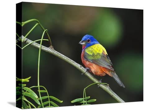Painted Bunting (Passerina Ciris) Perching, Texas-Tom Vezo/Minden Pictures-Stretched Canvas Print