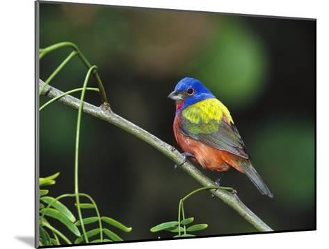 Painted Bunting (Passerina Ciris) Perching, Texas-Tom Vezo/Minden Pictures-Mounted Photographic Print