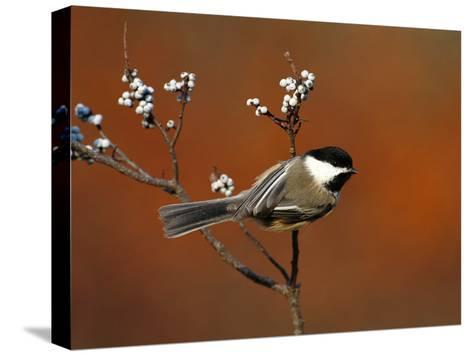 Black-Capped Chickadee (Parus Atricapillus) in Bayberry Bush, Long Island, New York-Tom Vezo/Minden Pictures-Stretched Canvas Print