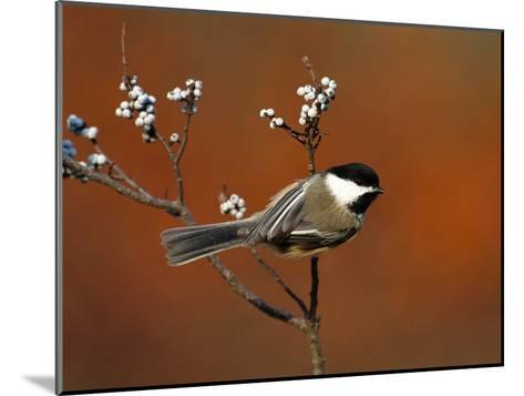 Black-Capped Chickadee (Parus Atricapillus) in Bayberry Bush, Long Island, New York-Tom Vezo/Minden Pictures-Mounted Photographic Print