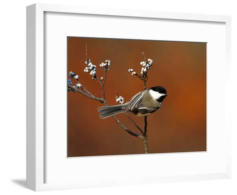 Black-Capped Chickadee (Parus Atricapillus) in Bayberry Bush, Long Island, New York-Tom Vezo/Minden Pictures-Framed Art Print