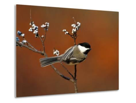 Black-Capped Chickadee (Parus Atricapillus) in Bayberry Bush, Long Island, New York-Tom Vezo/Minden Pictures-Metal Print