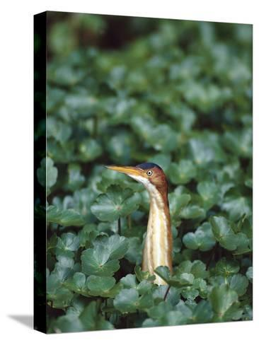 Least Bittern (Ixobrychus Exilis) Among Wetland Plants, Anahuac Nat'l Wildlife Refuge, Texas-Tom Vezo/Minden Pictures-Stretched Canvas Print