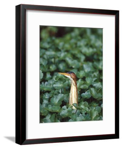 Least Bittern (Ixobrychus Exilis) Among Wetland Plants, Anahuac Nat'l Wildlife Refuge, Texas-Tom Vezo/Minden Pictures-Framed Art Print
