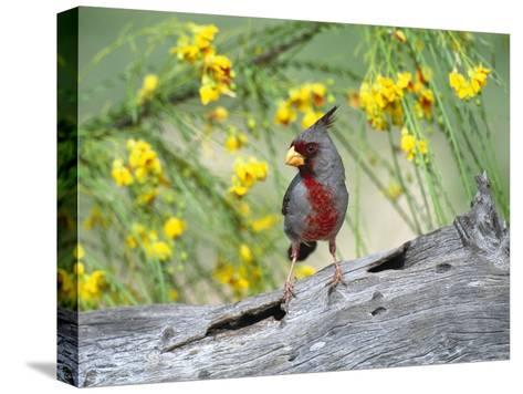 Pyrrhuloxia (Cardinalis Sinuatus) Perching on Log, Rio Grande Valley, Texas-Tom Vezo/Minden Pictures-Stretched Canvas Print