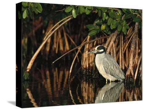 Yellow-Crowned Night Heron (Nyctanassa Violacea) Wading Among Mangrove Roots, Florida-Tom Vezo/Minden Pictures-Stretched Canvas Print