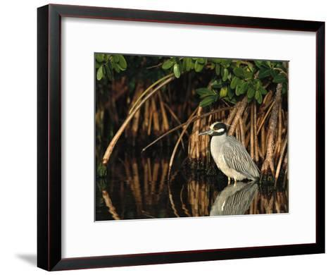 Yellow-Crowned Night Heron (Nyctanassa Violacea) Wading Among Mangrove Roots, Florida-Tom Vezo/Minden Pictures-Framed Art Print