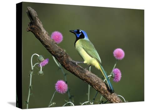 Green Jay (Cyanocorax Yncas) Perching, Rio Grande Valley, Texas-Tom Vezo/Minden Pictures-Stretched Canvas Print