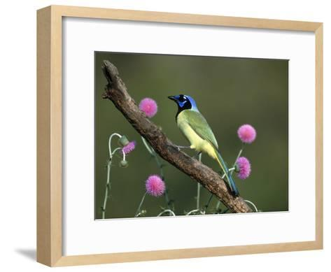 Green Jay (Cyanocorax Yncas) Perching, Rio Grande Valley, Texas-Tom Vezo/Minden Pictures-Framed Art Print