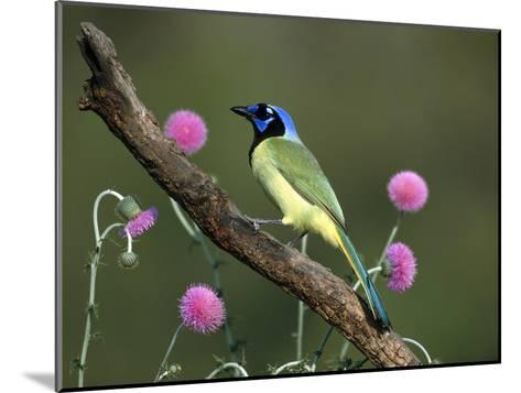 Green Jay (Cyanocorax Yncas) Perching, Rio Grande Valley, Texas-Tom Vezo/Minden Pictures-Mounted Photographic Print
