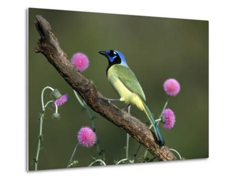 Green Jay (Cyanocorax Yncas) Perching, Rio Grande Valley, Texas-Tom Vezo/Minden Pictures-Metal Print