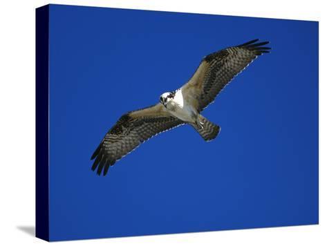 Osprey (Pandion Haliaetus) in Flight, Long Island, New York-Tom Vezo/Minden Pictures-Stretched Canvas Print