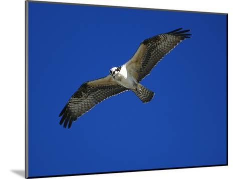 Osprey (Pandion Haliaetus) in Flight, Long Island, New York-Tom Vezo/Minden Pictures-Mounted Photographic Print