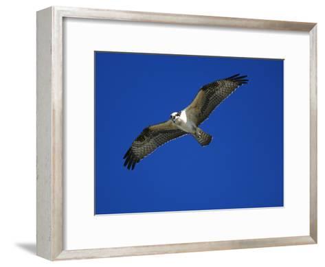 Osprey (Pandion Haliaetus) in Flight, Long Island, New York-Tom Vezo/Minden Pictures-Framed Art Print