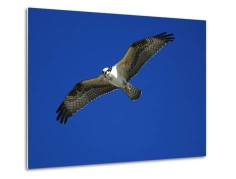 Osprey (Pandion Haliaetus) in Flight, Long Island, New York-Tom Vezo/Minden Pictures-Metal Print