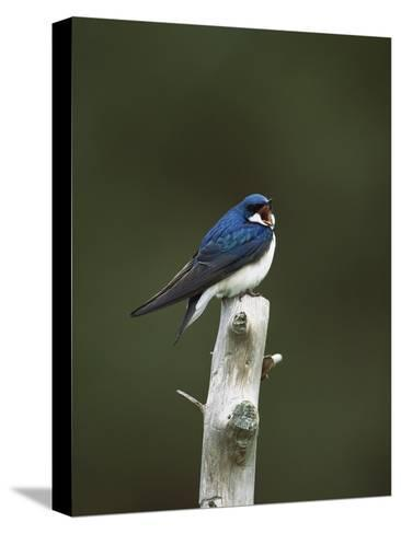 Tree Swallow (Tachycineta Bicolor) Singing from Perch, Long Island, New York-Tom Vezo/Minden Pictures-Stretched Canvas Print