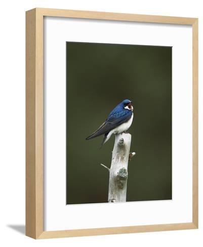 Tree Swallow (Tachycineta Bicolor) Singing from Perch, Long Island, New York-Tom Vezo/Minden Pictures-Framed Art Print