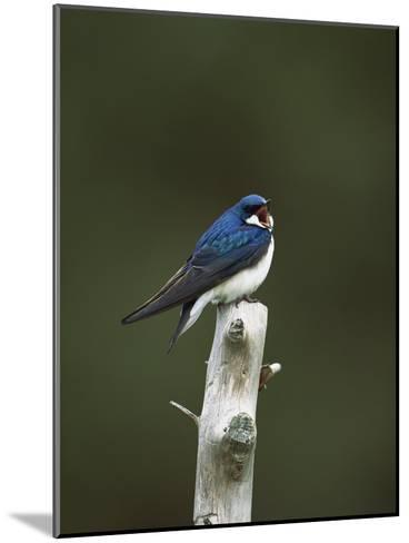 Tree Swallow (Tachycineta Bicolor) Singing from Perch, Long Island, New York-Tom Vezo/Minden Pictures-Mounted Photographic Print