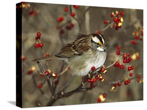 White-Throated Sparrow (Zonotrichia Albicollis) Perched in Bittersweet Bush, Long Island, New York-Tom Vezo/Minden Pictures-Stretched Canvas Print