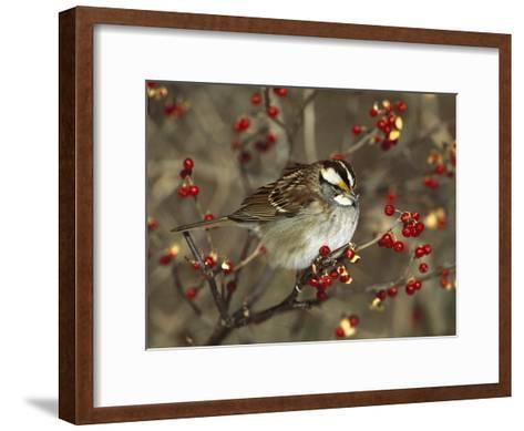 White-Throated Sparrow (Zonotrichia Albicollis) Perched in Bittersweet Bush, Long Island, New York-Tom Vezo/Minden Pictures-Framed Art Print