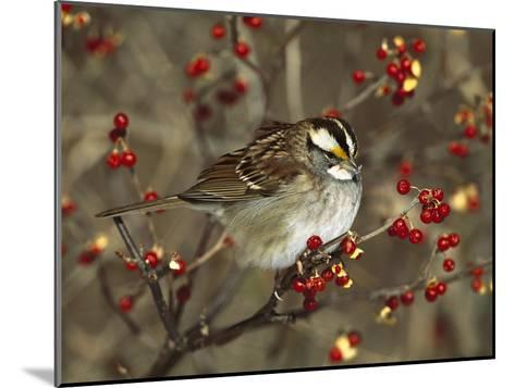 White-Throated Sparrow (Zonotrichia Albicollis) Perched in Bittersweet Bush, Long Island, New York-Tom Vezo/Minden Pictures-Mounted Photographic Print