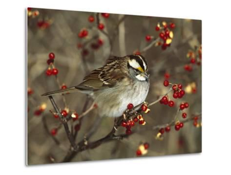 White-Throated Sparrow (Zonotrichia Albicollis) Perched in Bittersweet Bush, Long Island, New York-Tom Vezo/Minden Pictures-Metal Print