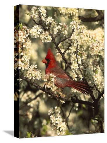 Northern Cardinal (CardinalisCardinalis) in Beach Plum (PrunusMaritima) Tree, Long Island, New York-Tom Vezo/Minden Pictures-Stretched Canvas Print